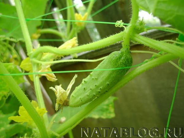 Зеленец огурца